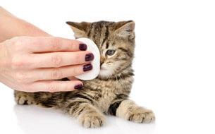 Augenpflege bei Katzen